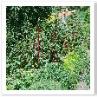赤い茎のスイスチャード。