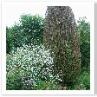 イチイの木もやっと芽吹いてきたようです。