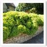 ノット・ガーデンのようにしたかったのでしょうか。おもしろ生垣。