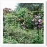 手前にバラ 中間に草花 奥に仕立てたバラ そして生垣。