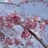 同じくエドヒガン系統のベニシダレ。水鳥の池のすぐ近くで八分咲きくらい。
