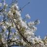 天城吉野。これもソメイヨシノから派生した品種。白い花弁が青空にとても良く映えます。