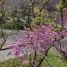 ミツバツツジ。会場内の斜面に所々植わってます。原種ツツジ園には、様々なツツジがありました。春から初夏にかけて楽しめそうです。
