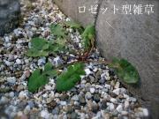ロゼット型の雑草例