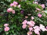 ホワイト、ローズピンク、イエロー様々な色のバラが咲き競います。