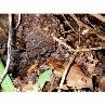 作った「土着菌の素」は季節の変わり目に地面に撒いて、上から堆肥や腐葉土でマルチングを。善玉菌の働きで病気に強いバラに育ちます。