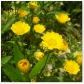 黄花の花壇2