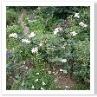 ホワイト・ガーデンは水と白い花が主役。