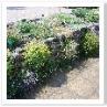 アルプスの高山植物が こんな平地で育つのでしょうか。