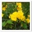 ヤマブキの花。この時期を代表する花ですね。
