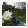 白いバラにスカイブルーのファニチャー。ヨーロッパでは良く使われます。