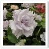 紫のバラ。青や紫のバラは色が薄くミステリアスなイメージ。