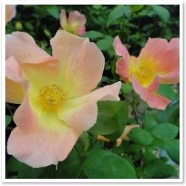 レジェーロ。ピンクから黄色へのグラデーションがきれいなバラ。