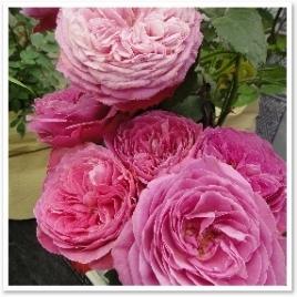 """ゆうぜん。花の開き方から、次第に変化していく花色まで""""おぼろ""""にうつろいゆく長く楽しめるバラ。"""