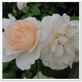ルイーザ ストーン。オールドローズを思わせるロゼット咲きのバラ。正統派です。 / / / / / / / / / / / / / /