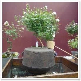 """茶釜に植えた""""シンデレラ""""というバラ。渋さと可憐さがマッチしています。"""
