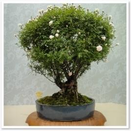 シンデレラ。どうやら盆栽でよく使われるようです。