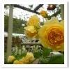 パーゴラには黄色のバラ。お庭のイメージに合った色の花を選ぶことも大切だと気づかされます。
