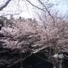 アメリカという品種。ソメイヨシノから派生した品種。動物園入り口近くに咲いてます。ライトアップもされているようです。