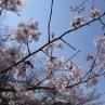 品種名はなかったのですが、萼筒の形からするとエドヒガン(江戸彼岸)桜の系統ですね。薄墨桜でしょうか。ソメイヨシノより少し早く咲き出します。
